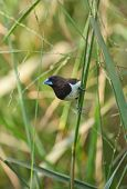 Blue Finch in grass
