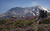 Snowy Mount Saint Helens With Purple Wildflowers Larkspur, In Front