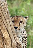 Cheetah Peek A Boo