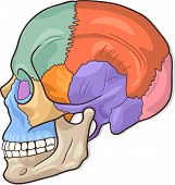 stock photo of eye-sockets  - Medical Vector Illustration of Human Skull Bones Graphic Diagram - JPG
