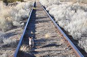 Chihuahua on the Tracks
