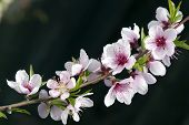 Macro Of Peach Blossoms