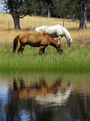 foto of feeding horse  - Grazing ranch horses reflected in Summer pond - JPG