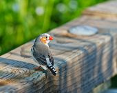 Watchful Zebra Finch