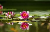 stock photo of water lilies  - Pink beautiful waterlily in green pond - JPG