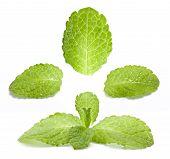 Set of fresh mint