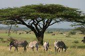 African Tree with ha herd of zebra