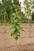Teak trees plantation