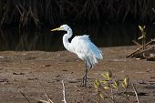 picture of fluffing  - A Great White Egret fluffing up feathers - JPG