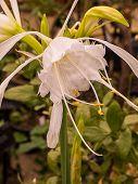 Elisena Longipetala Flower