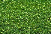 Field Of Small Yellow Flowers poster