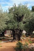 foto of gethsemane  - Oil yielding tree the garden of Gethsemane Jerusalem Israel - JPG