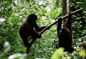 Juvenile Mountain Gorillas At Play