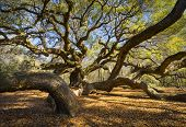 Carolina del sur Angel Oak Tree Charleston Sc naturaleza