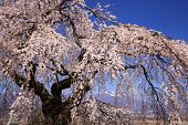 Weeping Cherry Tree And Mountain