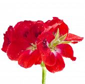 one geranium pelargonium head close up macro shot isolated on white background