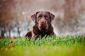image of chocolate lab  - brown labrador retriever breed dog outdoors summer