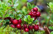 Ripe Red Cowberry Close Up