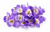 stock photo of violet  - Violets flowers close up  isolated on white - JPG
