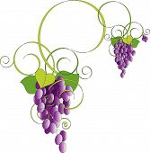 stock photo of grape-vine  - Illustration of Purple grapes on green vine on white background - JPG