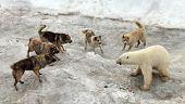 Dogs attacking polar bear
