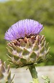stock photo of scottish thistle  - A purple Giant Ornamental Scottish thistle flowerhead - JPG