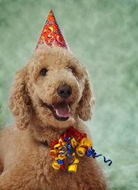 image of parti poodle  - beige poodle dog wearing nice party hat - JPG