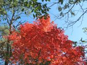 Vivid Red Orange Tree Leaves