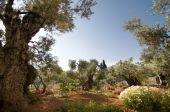 Jardim de Getsêmani