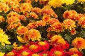 Chrysanthemums in the Garden