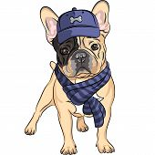 stock photo of bulldog  - hipster dog French Bulldog breed in a blue cap and scarf - JPG