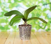 Phalaenopsis orchid in pot on wooden table