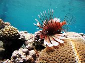 Lionfish over coral