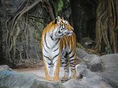 Stand Alone Of Sumatran Tiger