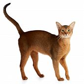 stock photo of claw  - Purebred abyssinian cat isolated on white background - JPG