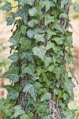 English Ivy Climbing A Dogwood Tree