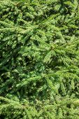 fir tree's branches forming a background