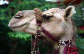 Bridled Camel