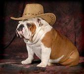 country dog - english bulldog wearing western hat - 4 years old
