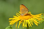 Schmetterling (Lycaena Dispar)