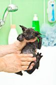 Bathing cute little black kitten