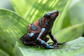 picture of rainforest animal  - poison dart frog - JPG
