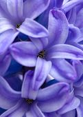 Blue Hyacinth Background