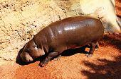 Pygmy Hippopotamus.