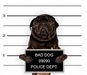 stock photo of felons  - a mugshot of a bad dog - JPG