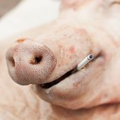 A Head Of A Pig With A Cigarette, 'smoking Kills' Concept