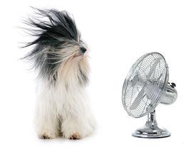 stock photo of tibetan  - Tibetan Terrier and fan in front of white background  - JPG