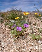 stock photo of xeriscape  - desert scene of purple mat and poppy flowers - JPG