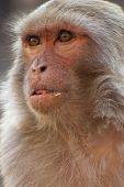 Portrait Of Rhesus Monkey