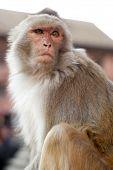 Portrait Of Monkey In Nepal